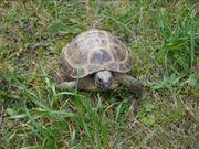 Russische Vierzehen Landschildkröte Testudo horsfieldii