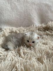 Britisch Kurzhaar Kitten zu verkaufen