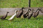 Junge Enten zu vergeben