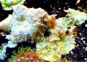 Meerwasser Scheibenanemonen green spoted