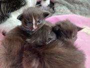 Drei bezaubernde Maine Coon Kitten