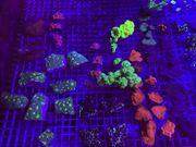 Meerwasser Korallen Chalice Avatar Acropora