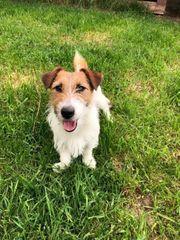 Jack Russell Terrier Rüde sucht