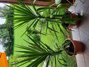 Yuccapalmen