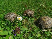 Landschildkröten-Babys abzugeben
