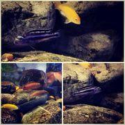 Aquarium Malawi-Barsche