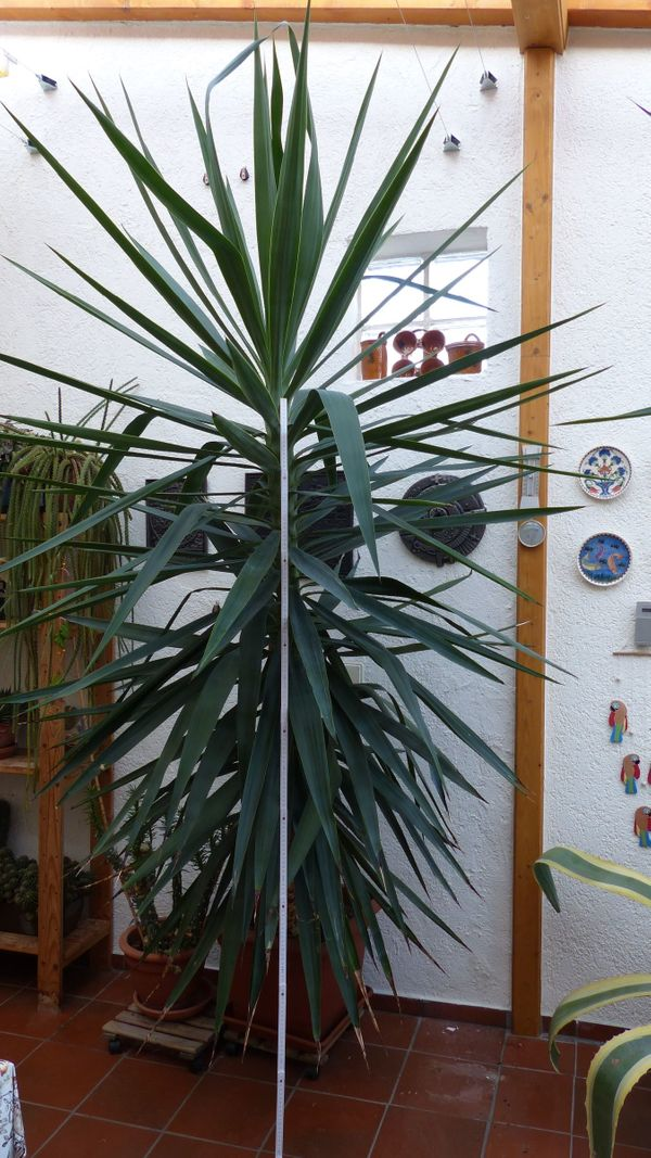 Große Yucca Palme ca 270