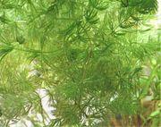 Echtes rotes Mexiko Hornkraut - Ceratophyllum