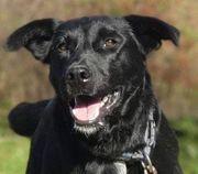 QUIDO C12 Labrador Mischling - ein