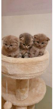 Scotisch Fold Katzenbaby