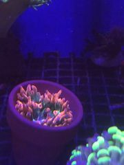 sunburst anemone in topf meerwasser