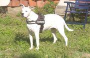 Hundin Mischling Boxer
