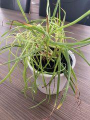 Erste Hilfe Pflanze Katzenschwanz Bulbine