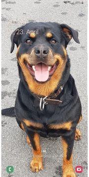 Rottweiler-Pitbull mischling