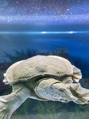 Chinesische Weichschildkröte