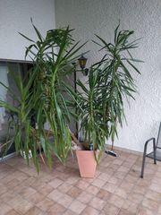 Yucca Palme - 2 Meter