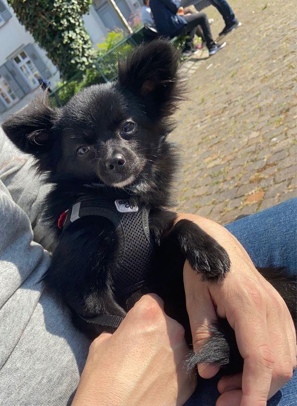 """Pomerania-Chihuahua Mädchen (7. Monate jung) \""""Bella\"""" sucht Für-Immer-Zuhause. . ."""