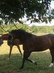 Super brave Stute als Beistellpferd