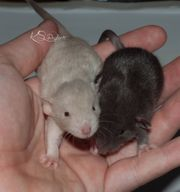 Rattenbabys aus Hobbyzucht
