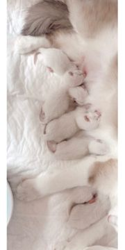 Bkh- Ragdoll Kitten