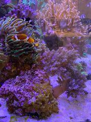 Meerwasser Lebendgestein mit 2 Keniabäumchen