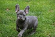 Französische Bulldoggen Rüde lilac