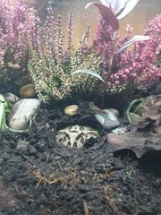 Pacman-Frog Schmuckhornfrosch Ceratophrys cranwelli