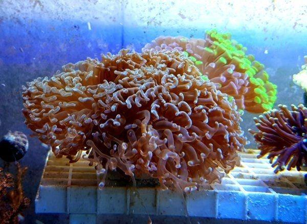 Meerwasser Euphyllia ancora groß