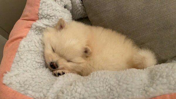 Zwergspitz Pomeranian Welpen In Berlin Hunde Kaufen Und Verkaufen Uber Private Kleinanzeigen