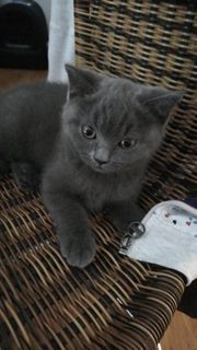 SOS 1 Mädchen BKH Kitten