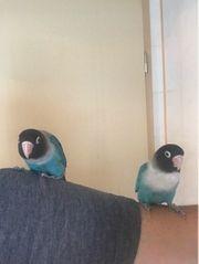 2 Agaporniden Schwarzköpfchen klein - Papagei