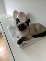 Kätzchen von einer Siamkatze und