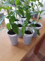 Chilipflanzen Paprikapflanzen Spitz Paprika
