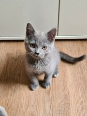 Kitten Katerchen BKH