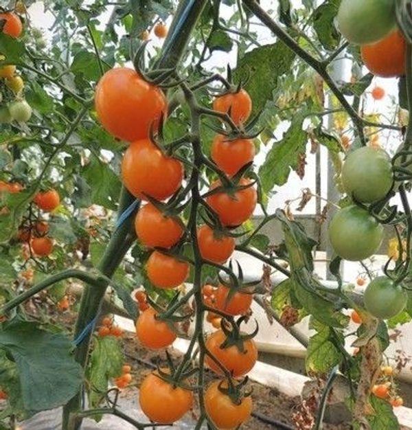 Set6 Tomate Cocktail orange - Inhalt