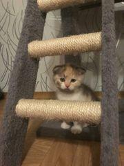 BKH Kitten seltene Farben Abgabe