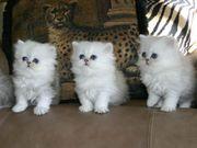 Persische Kätzchen für ein neues