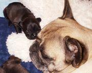 Zuckersüße Französische Bulldoggen Welpen suchen