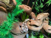 Kornnatter x Erdnatter Hybriden - Pantherophis