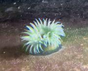 grüne Purpurrose Actinia prasina Meerwasser