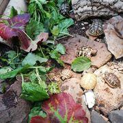 Nachzuchten der Griechischen Landschildkröte aus