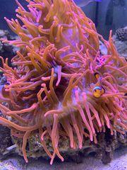 Kupferanemone abzugeben Meerwasser Korallen Ableger