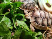 Junge Breitrandschildkröten
