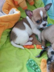 Reinrassige Chihuahua Babys