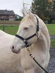 Quarter Horse Stute tragend