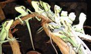 Kronenbasilisken Laemanctus longipes Nachzuchten