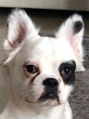 Französische Bulldogge Fluffy
