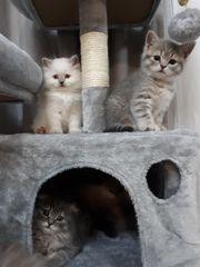 BKH BLH Kitten Schottish Fold