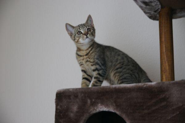 Bkh Mischlings- Katzenbabys