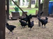 Ayam Cemani Stamm 1 2